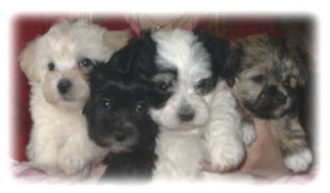 havanese puppies for sale vancouver bc havanese puppies for sale from canadian breeders in rachael edwards