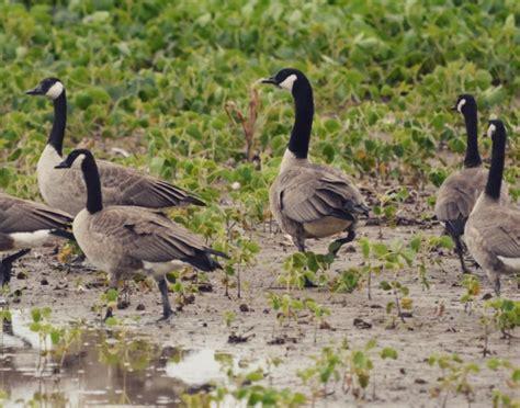 best choke best choke for goose the waterfowl