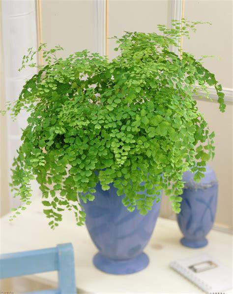 maidenhair fern indoor house plant adianthum fragrans established 15 months ebay