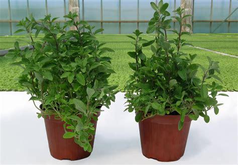 piante aromatiche in vaso ortoflora le erbe dello chef produzione piante ed erbe