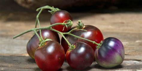 Benih Tomat Indigo Apple Paketan tomato indigo apple sunnyvale garden