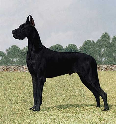 great dane dogs great dane dog breed info pictures petmd ch daneboa s great uproar great dane dream dogs
