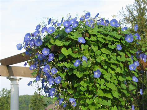 Tanaman Rambat Morning 10 best flowering vines for arches pergola arbor and