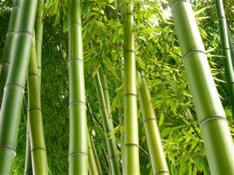 bambus le how to make 60 000 a year with a bamboo nursery
