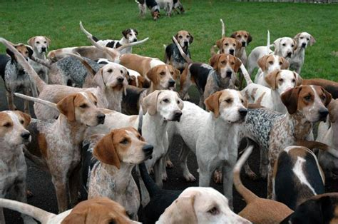 Pics For > Fox Hounds