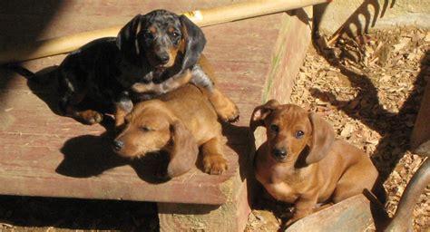 dachshund puppies indiana miniature piebald dachshund puppies picture