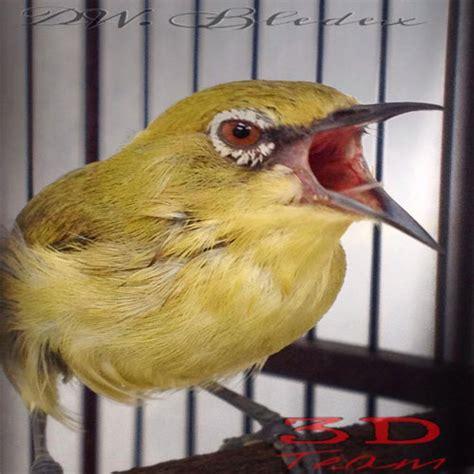 Pakan Branjangan Racikan pleci dakun macok kicau burung
