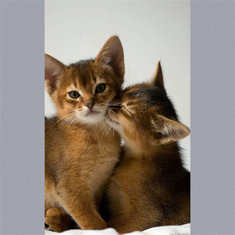 cat and abyssinian information health pictures pet paw