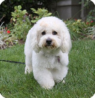 bichon havanese mix puppies lincoln adopted newport ca bichon frise havanese mix