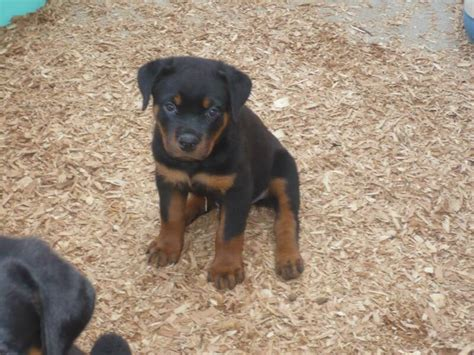 rottweiler puppies arizona rottweiler breeders az dogs our friends photo