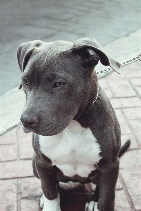 gray dogs 25 best ideas about pitbull terrier on american pitbull pitbull terrier