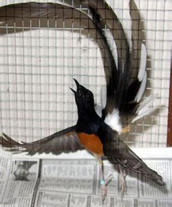 gambar burung murai medan gambar burung murai batu gambar burung hias piaraan kicau