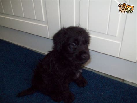 mini doodle puppies for sale uk mini doodle puppies hull east of