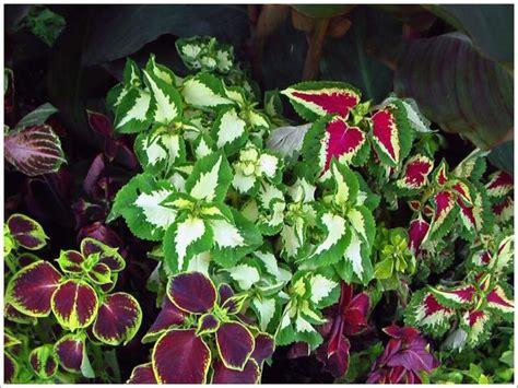 garden flowers and plants beautiful garden plants with full of colors coleus jpg hi