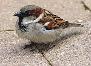 sbp environmental science house sparrow