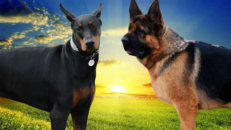 rottweiler vs doberman vs german shepherd german shepherd vs doberman www imgkid the image kid has it