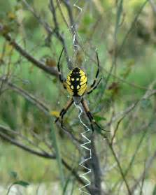Yellow Garden Spider Images File Argiope Aurantia Yellow Garden Spider Jpg Wikimedia