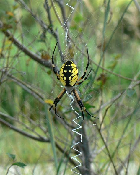 Garden Spider File Argiope Aurantia Yellow Garden Spider Jpg Wikimedia