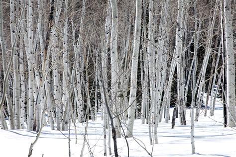 white trees white trees 2 palos verdes source