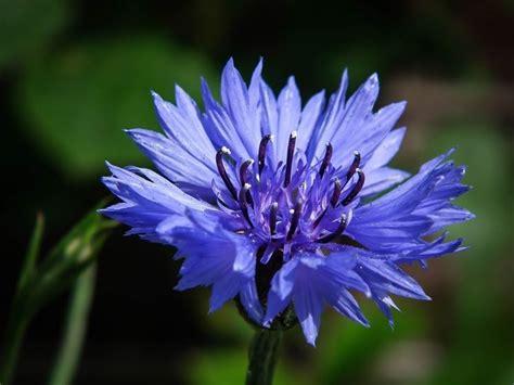 fiordaliso fiore fiori fiordaliso fiori di piante