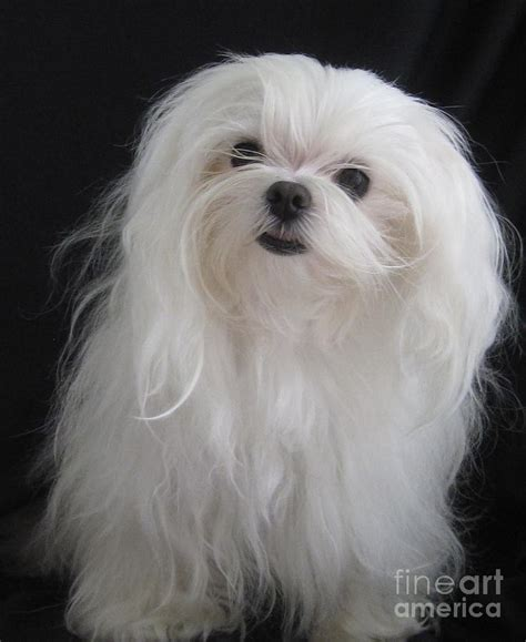 why has my maltese terrier got thin hair ok ok you got my attention photograph by margaret newcomb