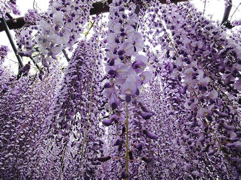wisteria flower tunnel in japan ghost in the machine surreal wisteria flower tunnel in japan