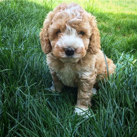 puppies seattle seattle labradoodle goldendoodle puppies available