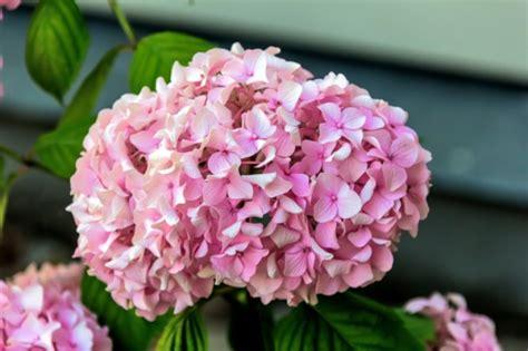 ortensia in vaso cura ortensie rosa cura come potare le ortensie