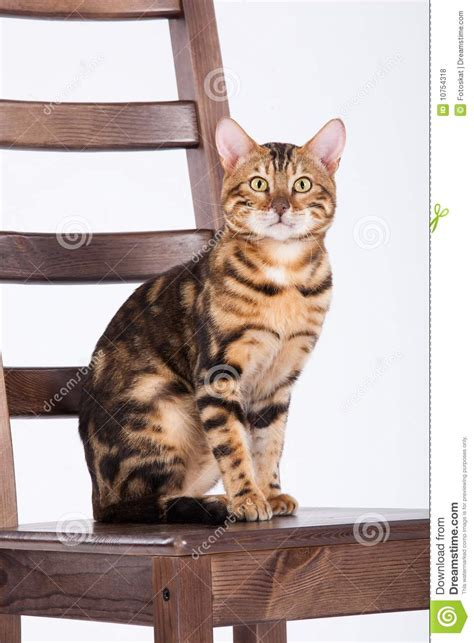 Cat On The Chair by Leopard Cat On A Chair Royalty Free Stock Photos Image