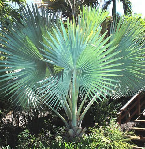 Le Palmier le palmier de bismarck flore de la r 233 union
