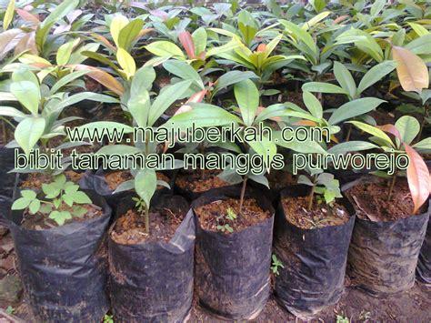 Bibit Manggis budidaya bibit manggis budidaya bibit tanaman manggis