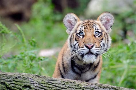 the tiger who would tigers wcs org