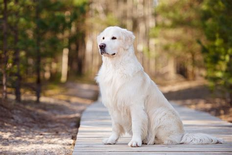 origin of golden retriever golden retriever dogs breed information omlet