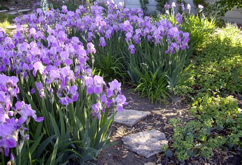 world of irises mass plantings for a breathtaking display