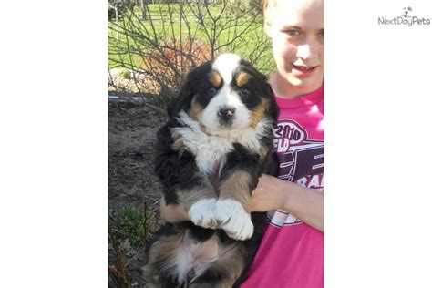 bernese mountain puppy for sale near sioux city iowa be7a5dfc c661 bernese mountain puppy for sale near sioux city iowa f11649b1 0f51