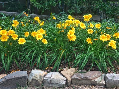 these daylilies bloom all summer southern living