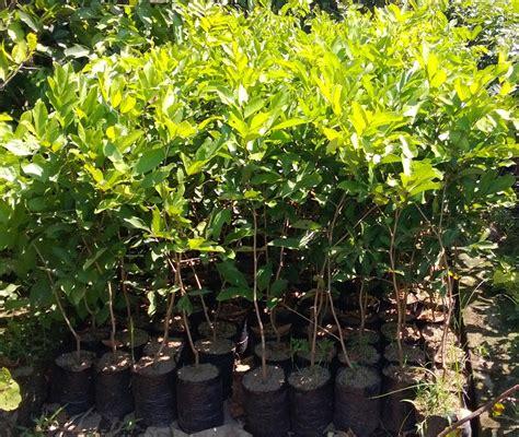 Jual Bibit Pohon Rambutan Rapiah jual bibit pohon rambutan di aceh jual aneka bibit pohon