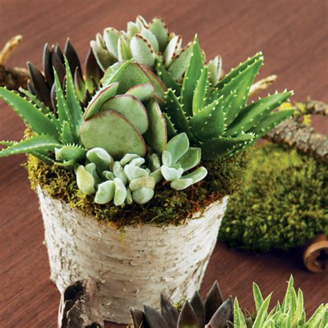 planters for succulents all gifts succulent birch planter