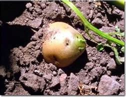 Potatoes And Mold Detox by Toxin Free Food Suggestions