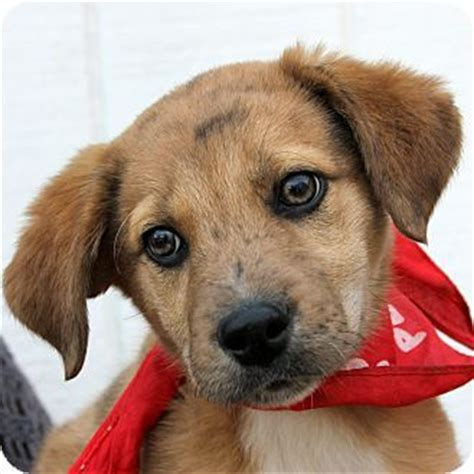golden retriever catahoula mix pin by bakerman on faces of
