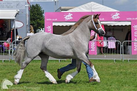 welsh section a pony 1000 ideas about welsh pony on pinterest horses ponies