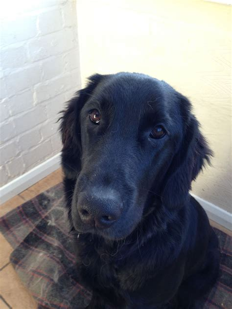 coat golden retriever flat coat x golden retriever pershore worcestershire pets4homes