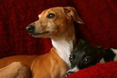 italian greyhound puppies for sale in pa italian greyhound puppies for sale in pa breeds picture
