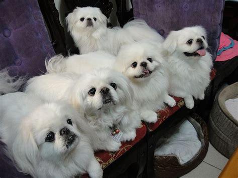 white pekingese puppies mob of white pekingese pekingese beautiful marriage and pekingese dogs