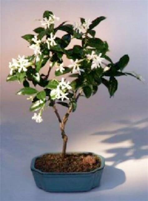 flowering white jasmine indoor bonsai trachelospermum