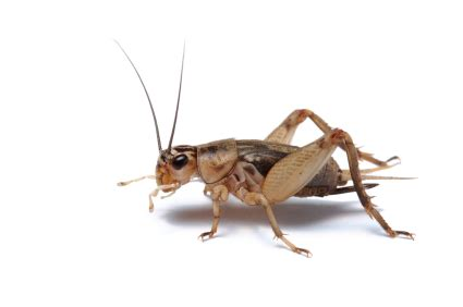Live Cricket Feeders crickets for sale reptiles for sale