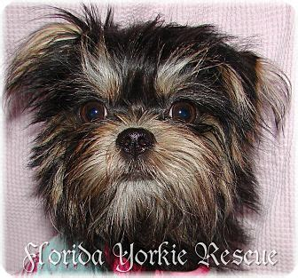 affenpinscher yorkie mix palm city fl affenpinscher yorkie terrier mix meet lola a puppy for
