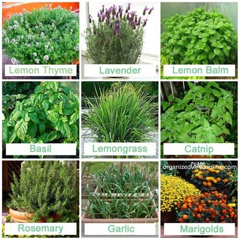 mosquito repelling plants backyard pinterest