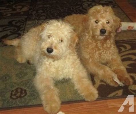 mini goldendoodles washington state miniature goldendoodles f1b generation for sale in