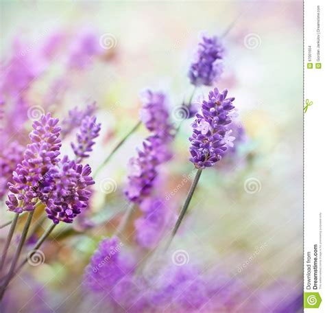 soft focus on beautiful lavender flowers lit by sun rays